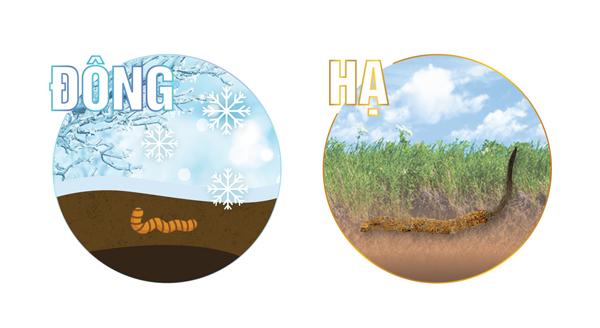Mùa đông, ấu trùng nhiễm nấm nằm dưới đất, đến mùa hè thì đâm chồi lên.